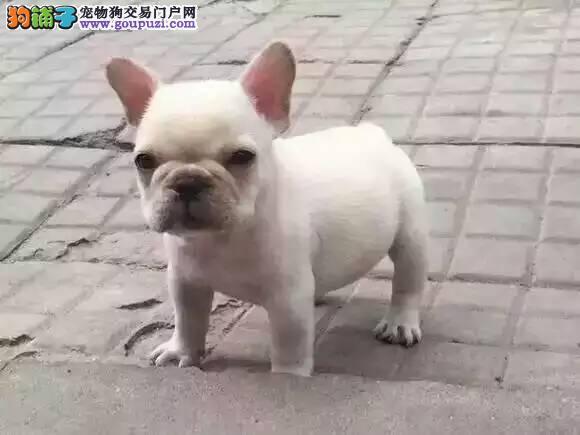 自家繁殖法国斗牛犬出售公母都有爱狗人士优先
