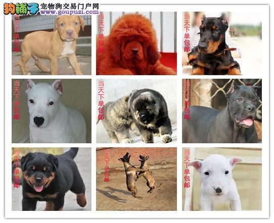 犬舍直销,边境,博美,藏獒,大白熊,德牧