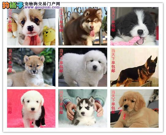 犬舍直销,萨摩耶,沙皮狗,松狮,泰迪