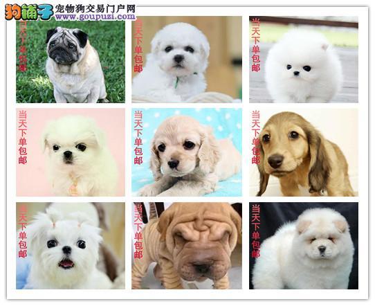 下单包邮,博美,藏獒,大白熊,德牧,杜宾