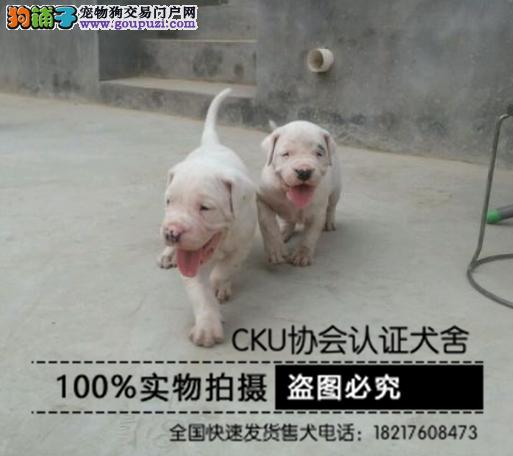 纯种杜高犬野性的象征杜高犬幼犬保健康
