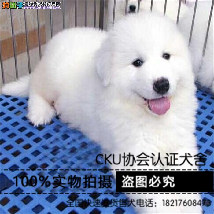 大白熊犬纯种健康可以上门看狗CKU认证