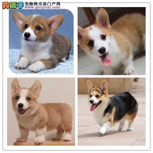爱狗犬业真正的顶级精品柯基宝宝热卖中质量三包签协议