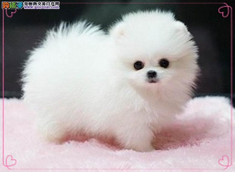 长春出售超可爱、顶级纯种哈多利博美幼犬、娇小体型