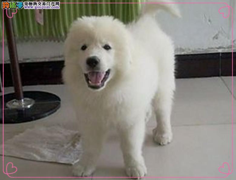 长春出售极品大白熊幼犬、体形均称、品质超好