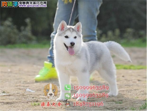 梅州哪里买三把火哈士奇 梅州哪个地方有卖纯种宠物狗