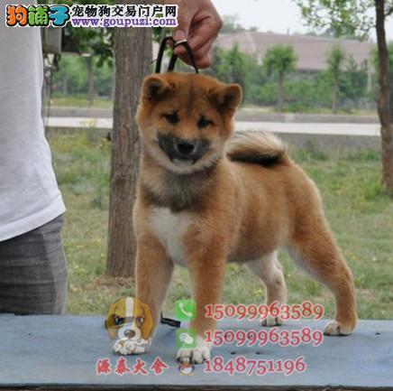 出售纯种日本柴犬 超级聪明忠实 血统纯正品相好健康