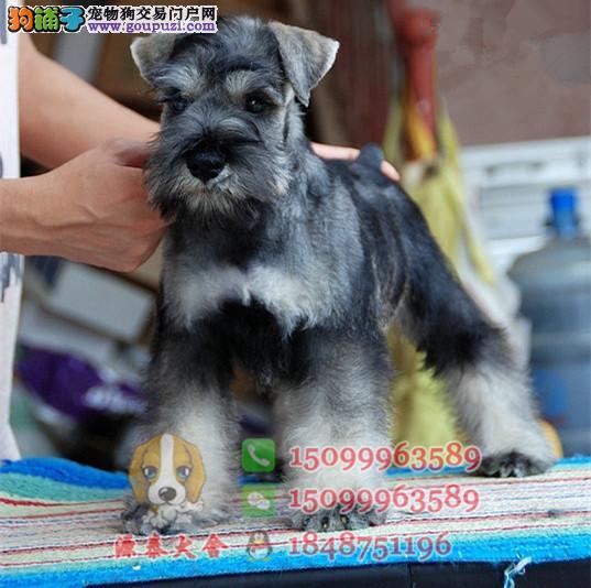 清远哪里有卖雪纳瑞犬 清远什么地方出售雪纳瑞狗狗