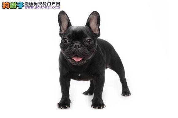 知名犬舍出售多只赛级法国斗牛犬喜欢的别错过