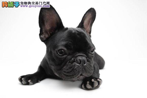 纯种法国斗牛犬幼犬 真实照片视频挑选 等您接它回家