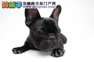 北京售可爱品质高的奶油法国斗牛犬法牛幼犬疫苗已做