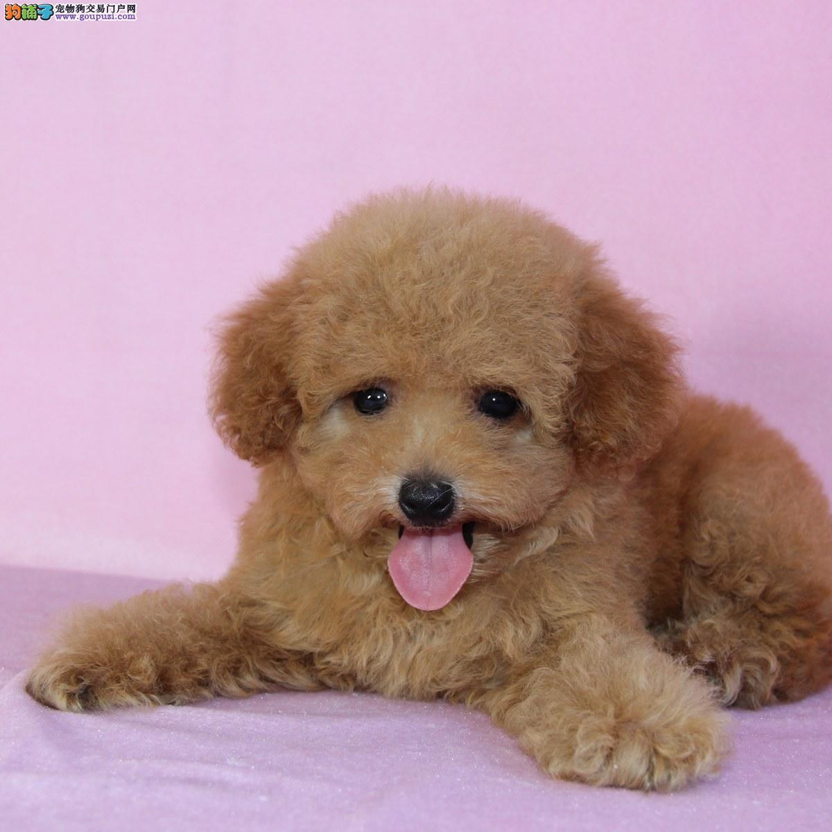 权威机构认证犬舍 专业培育泰迪犬幼犬喜欢来电咨询