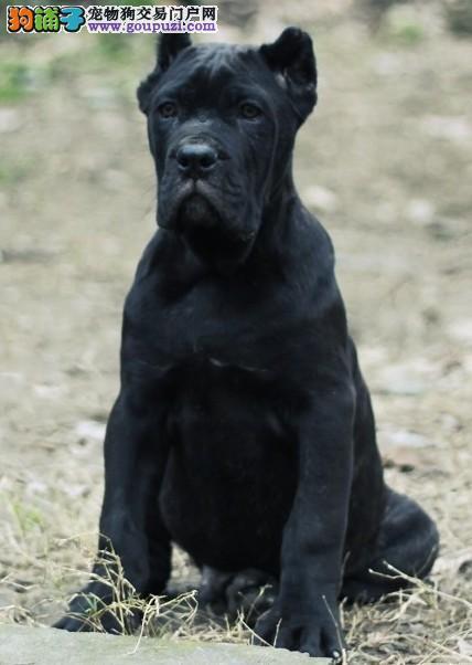 南京哪里有卖家养的卡斯罗犬在南京卡斯罗犬多少钱一只
