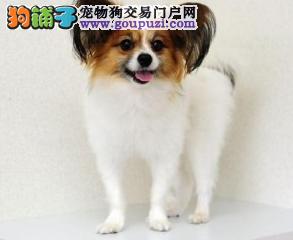 高端蝴蝶犬幼犬 CKU认证绝对保障 喜欢加微信