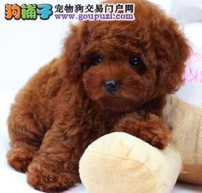 大体小体泰迪犬均有 女神必选 物美价廉,视频看狗