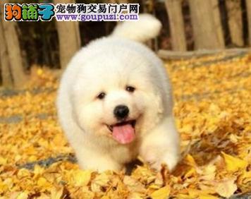 巨型犬大白熊幼犬 完美售后质量三包 健康可检测