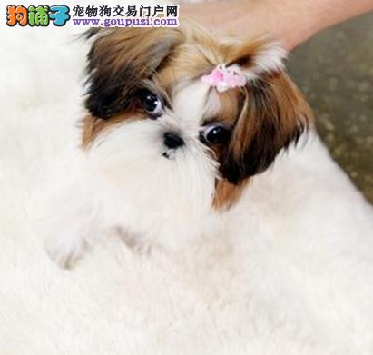 郑州犬舍低价热销 西施犬血统纯正签订协议终身质保