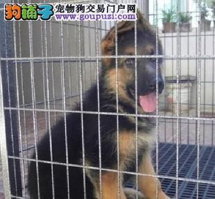 不卖病狗一不卖串一健康保终身一狼狗幼犬,多只可选