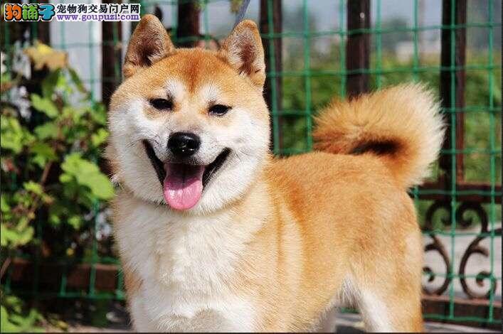 出售纯种健康的天津柴犬幼犬血统证书芯片齐全
