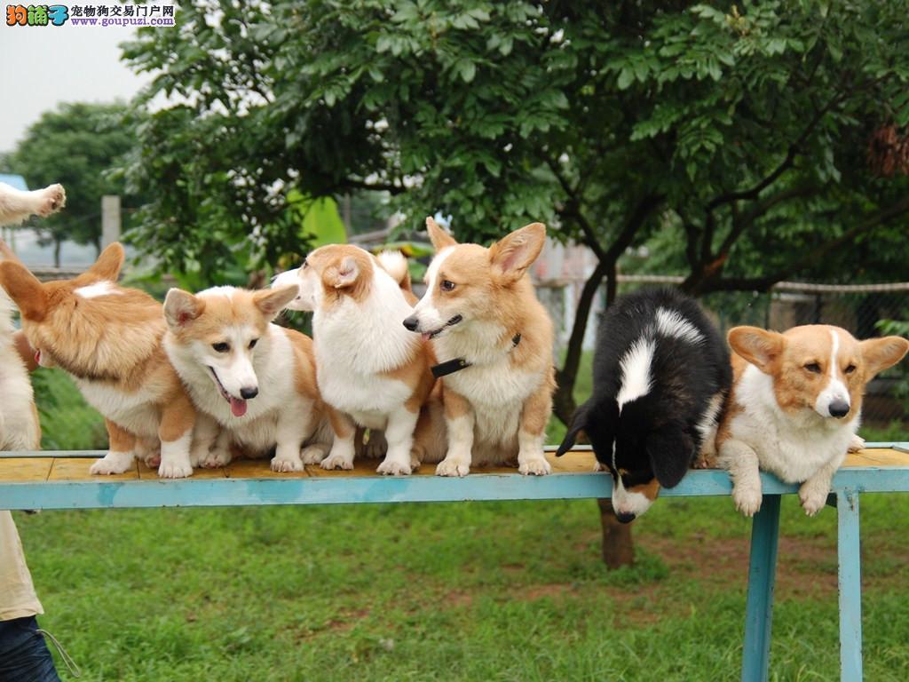 免费训练 国内最大柯基犬繁殖基地出售 包养活