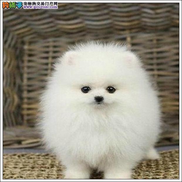 基地繁殖纯种健康性格开朗又好玩的博美幼犬 质保三年