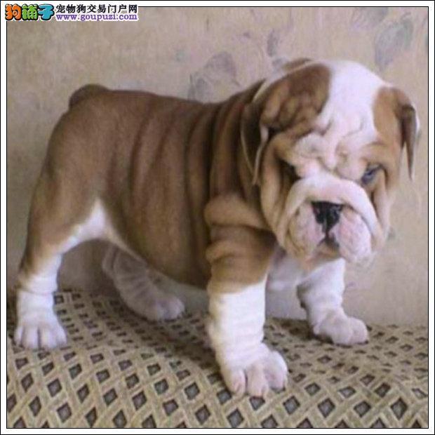拉萨市出售柴犬 可视频看狗 质量三包 终身纯种 包养活