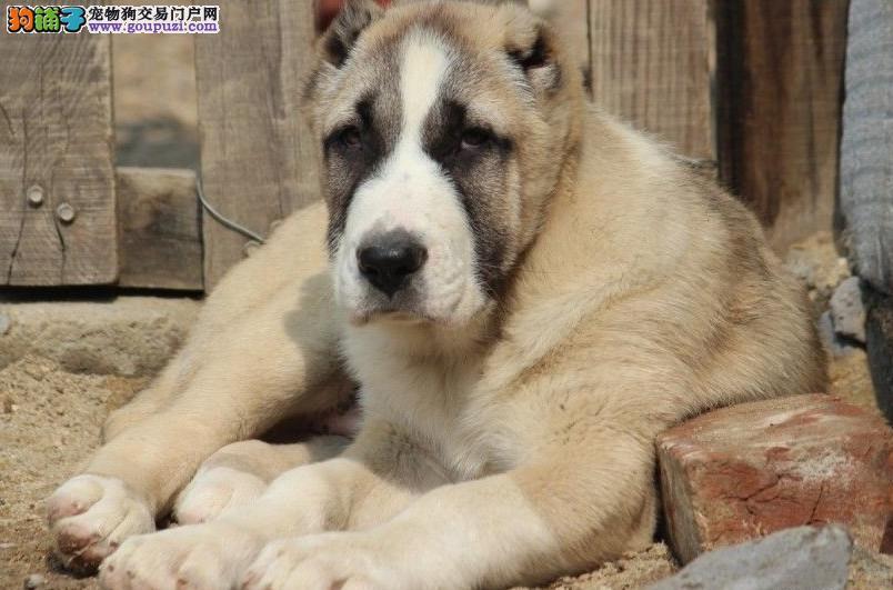 繁殖基地出售多种颜色的中亚牧羊犬看父母照片喜欢加微信