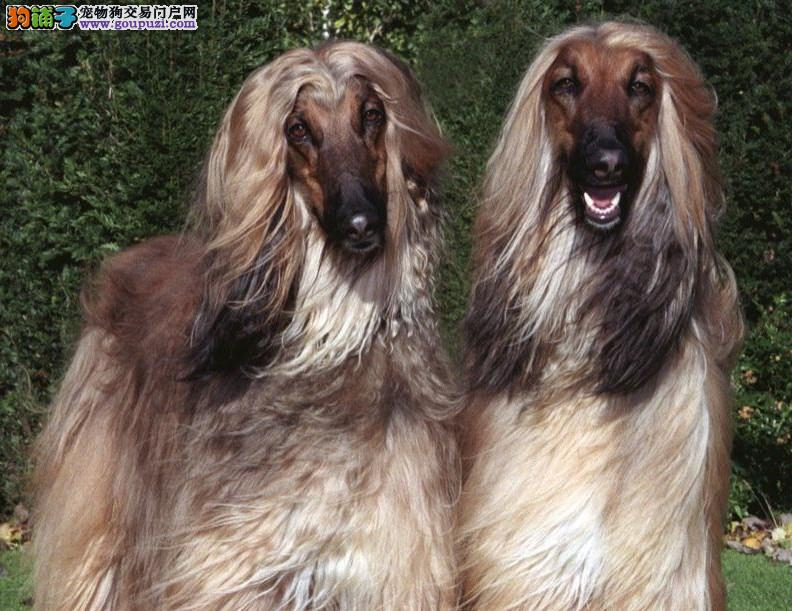 阿富汗猎犬宝宝热销中 品质极佳品相超好 质保全国送货