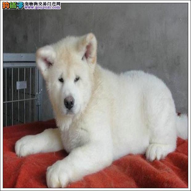 美系及日系纯种秋田犬超值出售中 健康质保三年