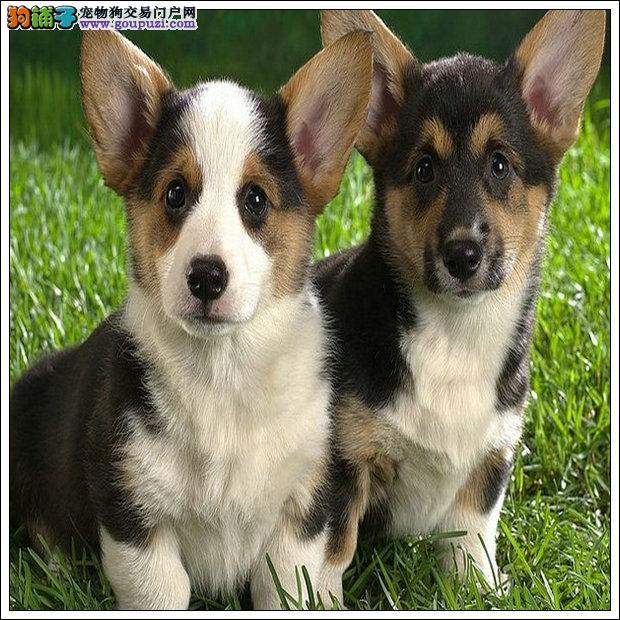 正规犬舍售高品质纯血统纯正签署质保三年