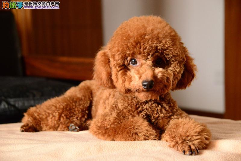 顶级高品质的泰迪幼犬出售疫苗做完 质量三包