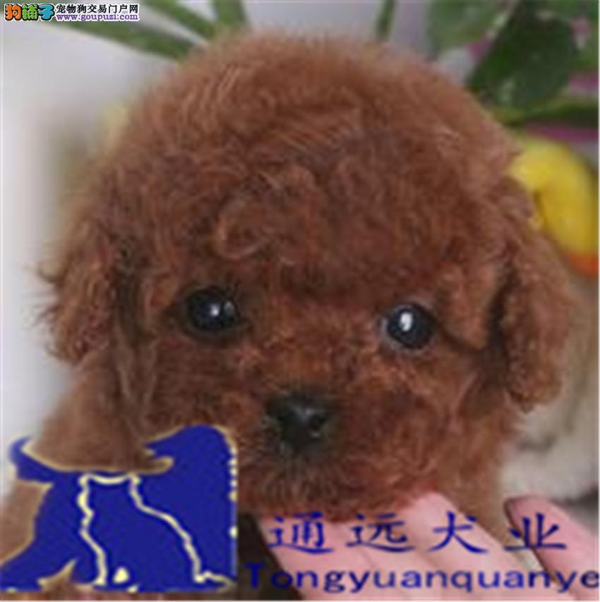 诚信交易、纯种贵宾犬、健康保障、签协议送狗用品