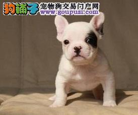 出售哈尔滨法国斗牛犬健康养殖疫苗齐全同城免费送货上门