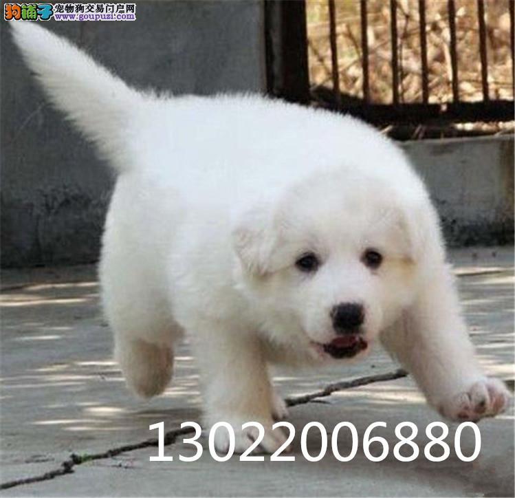 广州哪里有卖纯种 大白熊什么价位