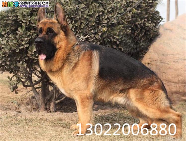 赛系德国牧羊犬顶级种犬名贵血统