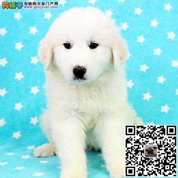 纯种大白熊幼犬是很迷人小狗很活泼也很乖巧