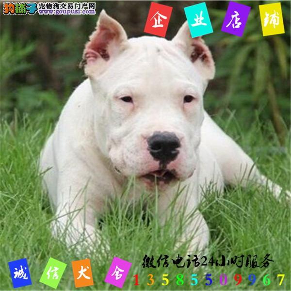 微信24小时服务13585509967 犬舍直销杜高
