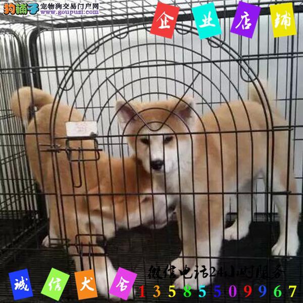 微信24小时服务13585509967 犬舍直销秋田