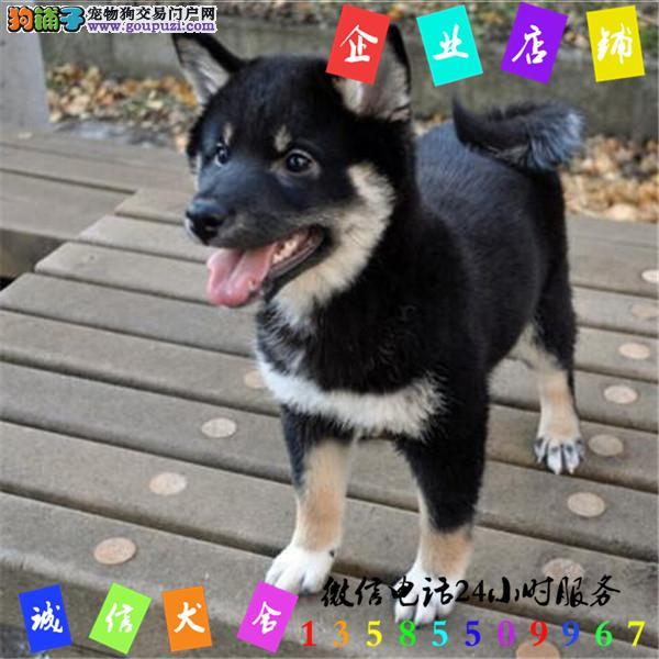 微信24小时服务13585509967 犬舍直销柴犬