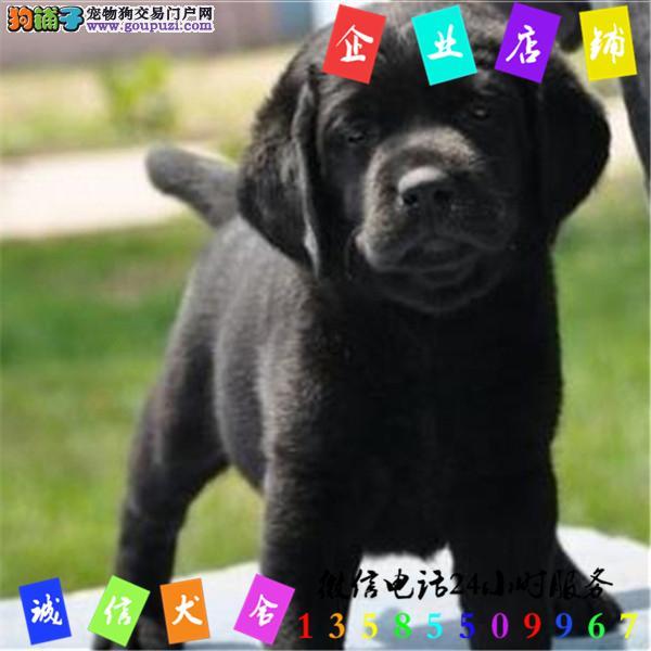 微信24小时服务13585509967 犬舍直销拉布拉多犬
