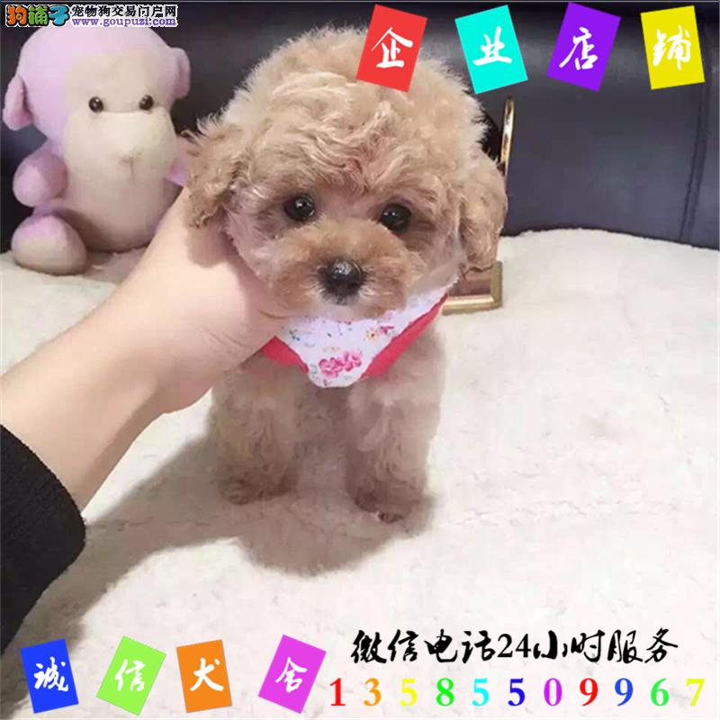 微信24小时服务13585509967 犬舍直销泰迪犬
