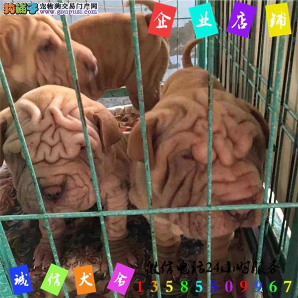 微信24小时服务13585509967 犬舍直销沙皮犬
