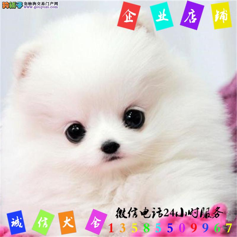 微信24小时服务13585509967 犬舍直销博美犬