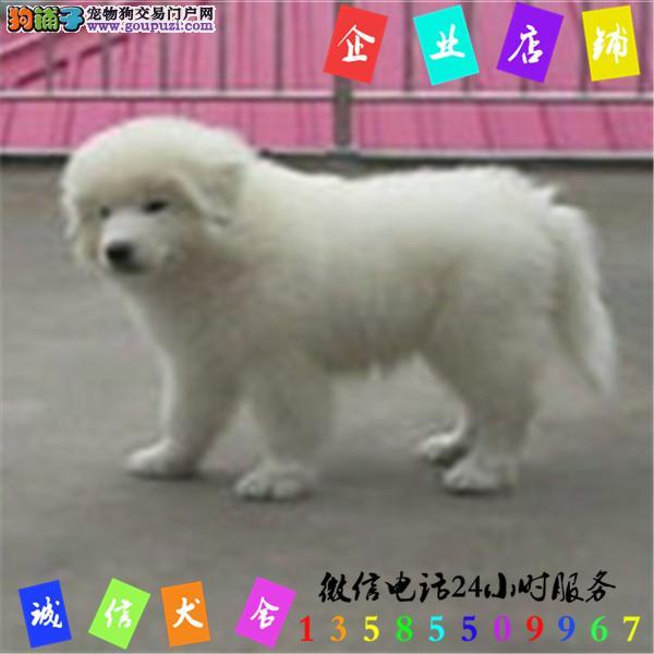微信24小时服务13585509967 犬舍直销大白熊