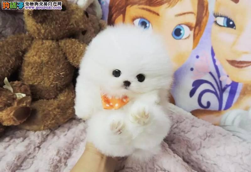 天津哪里有卖博美的 小体博美多少钱 球体博美犬出售