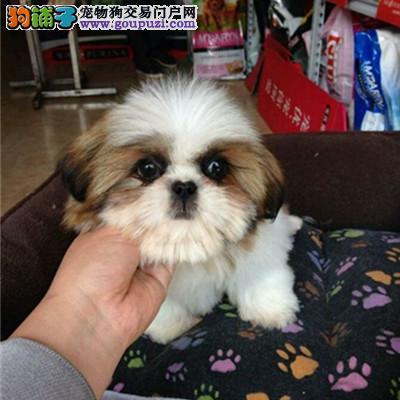 出售多种颜色牡丹江纯种西施犬幼犬品相一流疫苗齐全