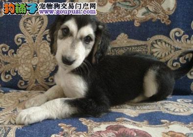 完美品相血统纯正张家口阿富汗猎犬出售送用品送狗粮
