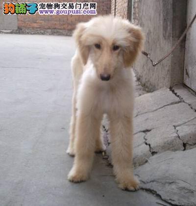 赛级阿富汗猎犬幼犬、一宠一证证件齐全、全国送货上门
