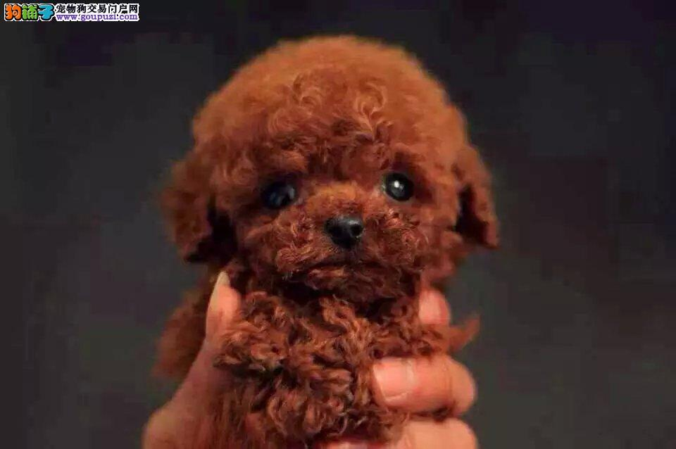 出售纯种玩具体泰迪宝宝