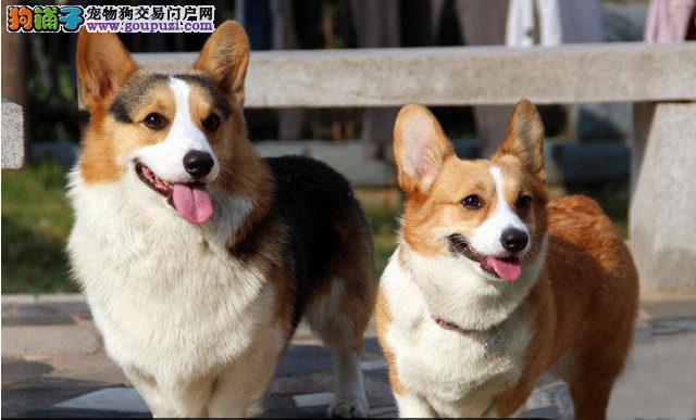 顶级柯基犬/三色两色都有√包换√包纯√包健康